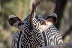 Grevy's Zebra (Bob Worthington Photography) Tags: zoo122918 sandiegozoo canon7dmarkii canon70200f28lisii