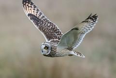 Short-Eared Owl-8130 (seandarcy2) Tags: owls shorteared owl handheld bif wildlife cambs uk fenland grassland raptors birds prey