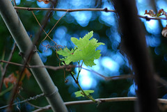 Grape (D E L I C A T E - L E N S) Tags: grape leaf nature sky bokeh smooth dof nikon d80 50mm prime lens f18 fixed length tree green branches color blue beirut lebanon