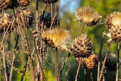 Disteln (Friedhelm Dötsch) Tags: blümkes gruga blumen essen deutschland flowers germany