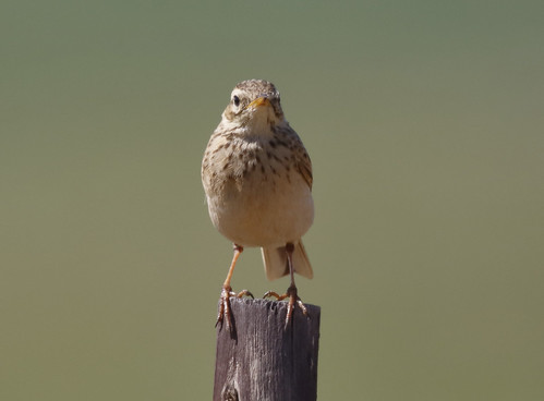 African Pipit_18-09-12_WDC_9828AM