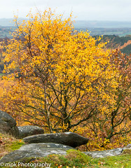 Golden Birch_Gardom's Edge 11.18 (Mick PK) Tags: autumn birch canon derbyshire eastmidlands fall gardoms gardomsedge landscapes nationalpark other peakdistrict places silver tree uk