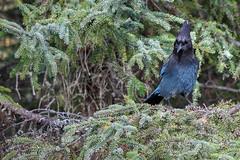 Stellars Jay (godoherty) Tags: stellarsjay stellars jay bird blue spruce cyanocittastelleri