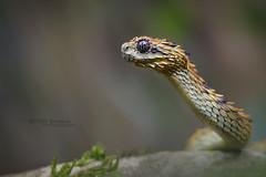 Rough-scaled Bush Viper (Matthieu Berroneau) Tags: reptile trip serpent ouganda 2017 atheris hispida uganda sony alpha a7ii herpéto herpeto nature field herp herping wildlife ff 24x36 full frame macro sonya7ii sonyalphaa7ii animal animaux sonya7mk2 sonyalpha7mark2 sonyalpha7ii 7ii 7mk2 sonyilce7m2 90 28 fe f28 g oss fe90f28macrogoss sonyfesonyfe2890macrogoss objectifsony90mmf28macrofe sel90m28g serpente snake serpentes snakes vibora пепелянка venin venimeux venimous venon venomous poisonous serpents atherishispida roughscaled bush viper roughscaledbushviper spiny spinybushviper hairy hairybushviper dragon dragoon best smaug