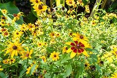 Botanic Garden of the Isole di Brissago (Bephep2010) Tags: 2018 7markiii alpha blume botanischergarten brissago brissagoislands brissagoinseln isoledibrissago sel075uwc sel28f20 schweiz sommer sony switzerland tessin ticino uwc botanicalgarden flower gelb summer yellow ⍺7iii ch