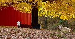 Little Cove Road  no.2 (Dee Gee fifteen) Tags: cows barn autumn rural