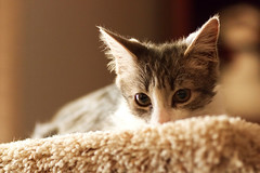 Frankie (brandon_gerringer) Tags: cat kitty kitten catphotography pet petphotography animal animalphotography bokeh macro macrophotography tamron canon