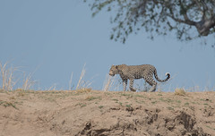 Powerful (Tris Enticknap) Tags: africa zambia cat southluangwa africanleopard leopard pantherapardus pantheraparduspardus