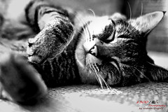 Life is so Rough II (1300 Photography) Tags: nikon z6 50mm 14 wideopen affinity affinityphoto cat cats feline pet pets petportrait