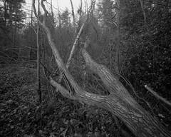 Fallen Tree. Walker Titan SF with Nikkor 65mm Lens, 9 sec @ f32, Delta 100 in HC110G (Jonathan Carr) Tags: tree branch woodland blackandwhite monochrome largeformat 4x5 rural northeast landscape ilforddelta100 walkertitansf