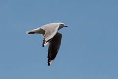 Seagull in flight (Merrillie) Tags: wings nsw woywoy wild wildlife gull silvergull nature australia flying sky bird seagull centralcoast newsouthwales animal