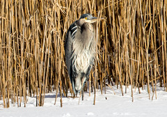 7K8A8012 (rpealit) Tags: scenery wildlife nature edwin b forsythe national refuge brigantine great blue heron bird