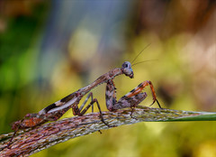 Into the Light (Kathy Macpherson Baca) Tags: insect world planet invertebrate mantid pray prey nature insects macro bugs