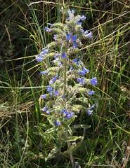 Viper's Bugloss. Echium vulgare (gailhampshire) Tags: vipers bugloss echium vulgare taxonomy:binomial=echiumvulgare