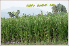 8465 - Happy Pongal Pongal greetings to all. இனிய பொங்கல் நல் வாழ்த்துகள் ! (chandrasekaran a 55 lakhs views Thanks to all.) Tags: pongal nature tamils tamilnadu india festival tradition culture தைப்பொங்கல் paddy sugarcane sungod greetings canoneos6dmarkii tamronef28300mm arani
