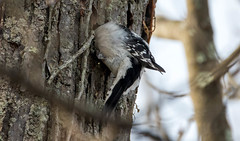7K8A6777 (rpealit) Tags: scenery wildlife nature wallkill river national refuge downy woodpecker bird
