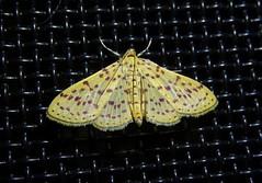 Crambidae, Polygrammodes eleuata (mario-finkel) Tags: panama boquete moths crambidae zünsler motten schmetterlinge lepidoptera insects insekten animals tiere sweetpotatomoth manyspottedmoth chiriqui