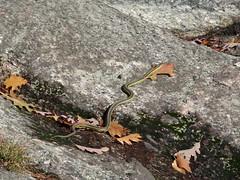 Garter snake at Luskville Falls (Sean_Marshall) Tags: snake gartersnake gatineau gatineaupark pontiaccounty luskville québec