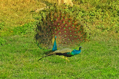 Paint my love.... (Lopamudra !) Tags: lopamudra lopamudrabarman lopa love peacock peahen colour color colours colourful bird jungle forest wildlife wild wilderness jayanti westbengal india nature portrait life fauna beauty beautiful pretty duars dooars