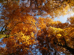 Golden canopy (EvelienNL) Tags: tree trees autumn fall leaves leafs herfst herfstblad herfstbladeren herfstkleuren bladeren boom bomen sky bluesky lucht blauwelucht canopy bladerdak sunlight sunlit sunshine zonlicht zonneschijn beech beuk beukenboom beuken yellow orange geel gele oranje forest bos