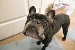 "Wide-Angle (Lainey1) Tags: wideangle oz ozzy dog ozymandias lainey1 bulldog frenchbulldog zendog frogdog ozzythefrenchie frenchie ""elaine dudzinski"" sony rx100 sonyrx100 sonyrx100v"