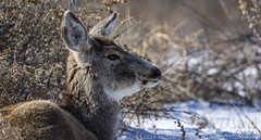 Deer (Ciavatta Photography) Tags: deer colorado rockymountainarsenal brown snow