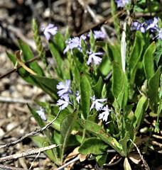 Purple Scalystem (Elytraria imbricata) 09-03-2015 Chino Canyon, Santa Cruz Co. AZ 3 (Birder20714) Tags: plants arizona acanthus acanthaceae elytraria imbricata
