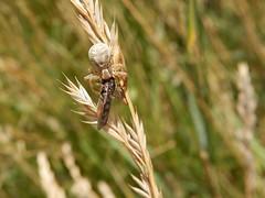 Crab spider (rockwolf) Tags: crabspider arachnid spider hoverfly diptera predator prey insect kennacksands cornwall 2018 rockwolf