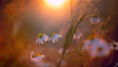 oxeyes (Simon[L]) Tags: daisy daisies sunset bug beetle bokeh canon50mmf18ltm serenar