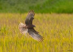 Pied Harrier (Staf_Ferry) Tags: piedharrier harrier seberangperak paddyfield perak malaysia wildlife nature bird birding birdphotography nikond500 nikkorafs500mmf4gedvr ngc