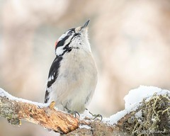 Is it Rudolph up there? Downy Woodpecker - Pic mineur (Gilbert Rolland) Tags: gilbertrolland picoidespubescens downywoodpecker picmineur