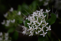 Wild Flowers (leendert3) Tags: leonmolenaar southafrica nature flowers ngc npc naturethroughthelens