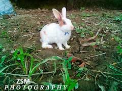 ZSM Photography (Zihad Bin Sultan) Tags: rabbit zsmphotography wildlife wildlifephotography খরগোশ 兔子 أرنب κουνέλι ウサギ खरगोश arnab tavşan 5mp 5megapixels