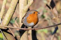 (141) Bird - Robin - North Cove SWT Reserve (NikonJeremy) Tags: northcovesuffolkwildlifetrust bird rbin