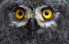 Baby Face (Nephentes Phinena ☮) Tags: nikond500 sigma50500mmf463 wildparklüneburgerheide schneeeule snowyowl snowyowlchick schneeeulenküken