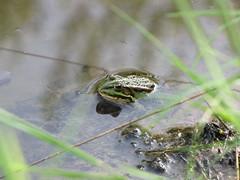 """...gut getarnt... (elisabeth.mcghee) Tags: pelophylax """"esculentus"""" teichfrosch teich pond wasser water frog frosch amphibie common unterbibrach oberpfalz upper palatinate"""