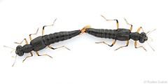 Stenus mating (Radim Gabriš) Tags: coleoptera staphylinoidea staphylinidae steninae stenus rove beetle mating aedeagus