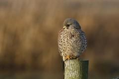 Kestrel (Falco tinnunculus) (Fly~catcher) Tags: kestrel falco tinnunculus post bird prey