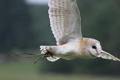 IMG_1424 (Stefan Kusinski) Tags: hemsley duncombe ncbp birdofprey
