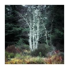 Illuminous (gerainte1) Tags: trees woodland winter lichen forest film colour provia100 hasselblad501