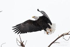 January 11, 2019 - A bald eagle leaps into the snow. (Tony's Takes)