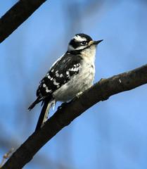 Downy woodpecker (carpingdiem) Tags: downywoodpecker birds winter indianapolis 2019