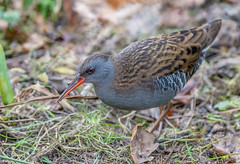 JWL8452  Water Rail.. (Jeff Lack Wildlife&Nature) Tags: waterrail rails birds avian animal animals wildlife wildbirds wetlands waterbirds waterways waders wildlifephotography jefflackphotography reservoirs reeds reedbeds lakes ponds marshland marshes canals scrapes nature