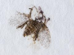 """Paper Fly"" (bernardo7777) Tags: jörg joerg bernhard klemmer olympus 60mm raynox makro microfotografie fliege"