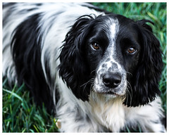 Junior (nickyt739) Tags: dog pet animal junior springer spaniel english nikon dslr d5100 amateur garden family cute