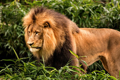 Luke the Lion 3-0 F LR 10-7-18 J130 (sunspotimages) Tags: animal animals wildlife nature lion lions malelion malelions zoo zoos nationalzoo fonz fonz2018 fonz22019