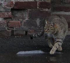 Miao.. (giuselogra) Tags: cat cats animals animali gatto gatti felino felini canon200d canonphotos