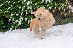 Snowtime (Artisanart) Tags: bessie dog snow
