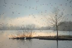 in volo in una fredda giornata d'inverno, in flight on a cold winter day (adrianaaprati) Tags: oasidialviano winter january lake sky reflections birds cold garzetta egret