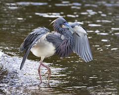 Tricolored Heron with happy feet (wandering tattler) Tags: heron egretta tricolored bird wader hunter water florida 2019